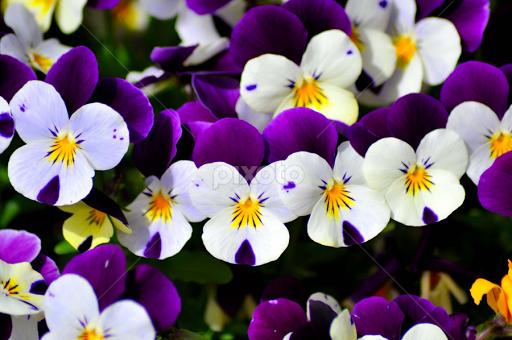 violets-4898885684428800