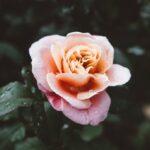 Роза во дождот - Владимир Алејников