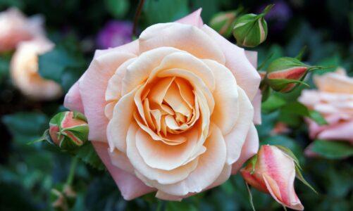 Розин призрак – Теофил Готје