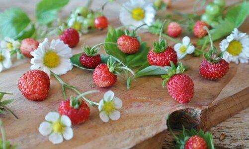 Цутот на дивите јагоди – Софија Величковска