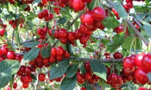 Македонска цреша